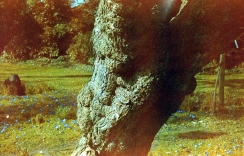Tree in Royal Fort Garden