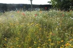 Wildflowers at the Eden Project