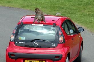 Monkey on car